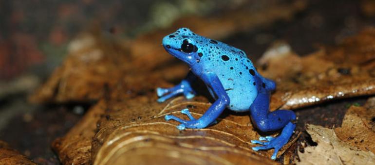 Rana azul