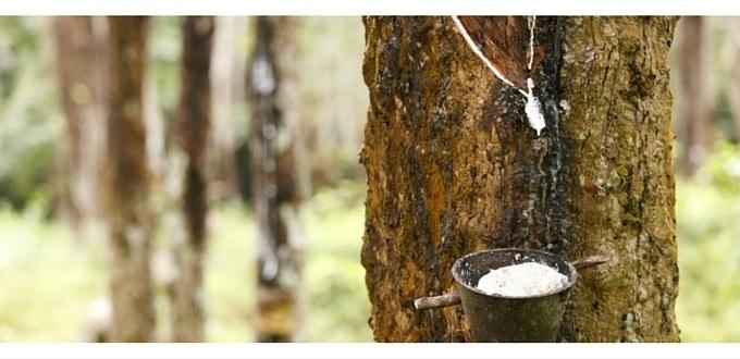 Extracción del caucho del árbol del hule