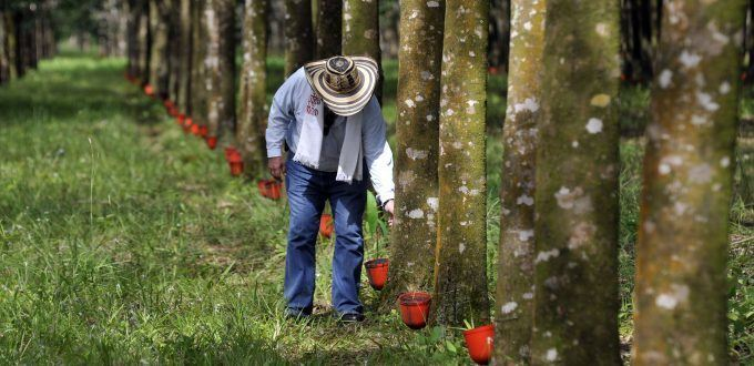 Plantación de caucho
