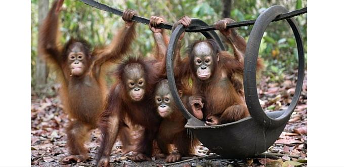 El orangután, la lluvia y el columpio