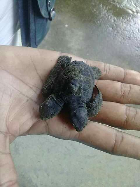 Tortuga Boba nacida con dos cabezas por causa de la contaminación