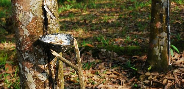 La plantación de caucho que quiere salvar las selvas de Indonesia